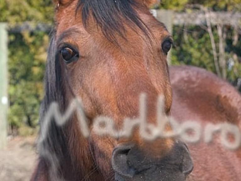 pferd raucht
